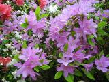 'Lavender Beauty' ?