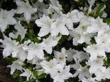 'Delaware Valley White'