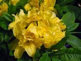 'Double Yellow'
