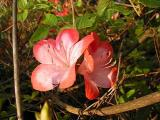 'Coral Ace'
