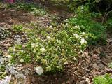 Hardy Gardenia