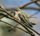 Birds  Humming birds