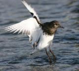 Birds Black Turnstones