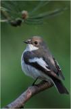 Pied Flycather / Bonte Vliegenvanger