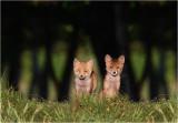 Red Fox / Vos