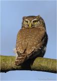 Dwerguil / Pygmy Owl