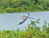 Along the shore a heron flew