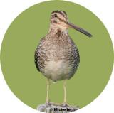 Oiseaux des marais et des rivages