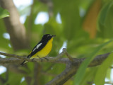 Flycatcher, Yellow-Rumped