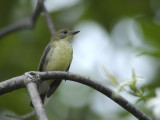 Flycatcher, Yellow-rumped (female)