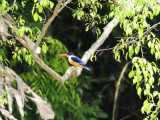 Kingfisher, Black-capped