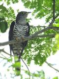 Cuckoo, Indian