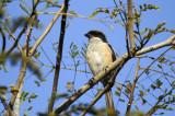 Shrike, Long-Tailed