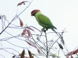 Parakeet - Long Tailed