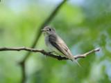 Flycatcher, Asian Brown (2011)