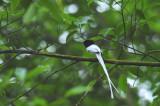 White Flycatcher, Asian Paradise (Male)