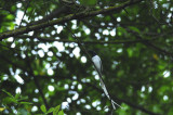 Flycatcher, Asian Paradise (Male) White