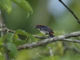 Flowerpecker, Scarlet-backed