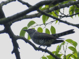 Cuckoo, Little Bronze