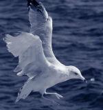 IR Gull