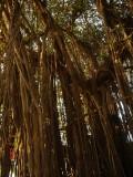 Picnic Banyan Tree Rear