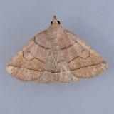 8351  Early Zanclognatha - Zanclognatha cruralis