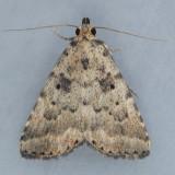 8509   Common Arugisa  - Arugisa latiorella