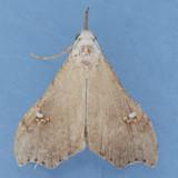 8401  White-spotted Redectis - Redectis vitrea