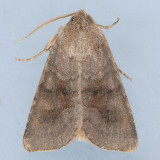 9454 Veiled Ear Moth - Amphipoea velata