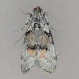 Pococera species