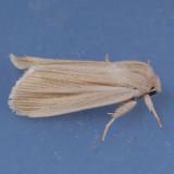 9280  Henry's Marsh Moth - Simyra [henrici] insularis