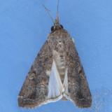 9666 Fall Armyworm female - Spodoptera frugiperda