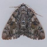 8794 Tearful Underwing - Catocala lacrymosa