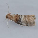 5604 Sycamore Webworm - Pococera militella