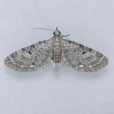 7474 Common Eupithecia - Ecliptopera miserulata