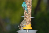 Indigo Buntings at Modified Thistle Seed Feeder
