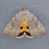 8840 Magdalen Underwing - Catocala illecta