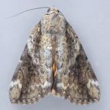 8876 Little Underwing – Catocala micronympha
