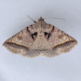 8747  Black Bit Moth – Celiptera frustulum