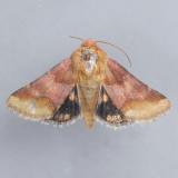 11105 – Bina Flower Moth – Schinia bina