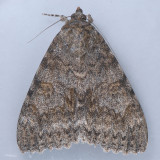 8829  Joined Underwing - Catocala junctura