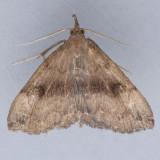 8363 Dark Phalaenostola – Phalaenostola eumelusalis
