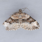 7390 Toothed Brown Carpet  – Xanthorhoe lacustrata