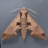 7861  Achemon Sphinx Moth – Eumorpha achemon