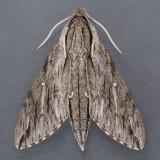 7793  Plebian Sphinx Moth – Paratrea plebeja
