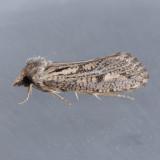 373 Clemens' Grass Tubeworm - Acrolophus popeanella
