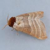7907  Walnut Caterpillar - Datana integerrima