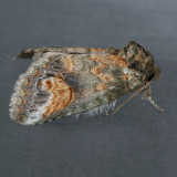 Notodontidae  ( 7895 - 8032 )