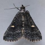 8366  Smoky Tetanolita - Tetanolita mynesalis