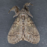 8294 Variable Tussock Moth - Dasychira vagans